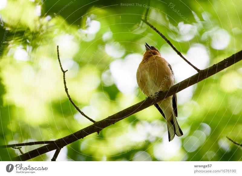 Der Sänger Pflanze Tier Sommer Garten Park Wildtier Vogel Fink 1 braun gelb grün orange weiß Singvögel Ast Blätterdach Blatt Baumkrone Gegenlicht