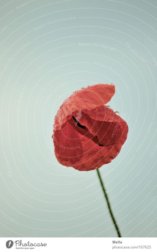 Mohntag Farbfoto Außenaufnahme Textfreiraum oben Tag Zentralperspektive Totale Umwelt Natur Pflanze Wassertropfen Himmel Frühling Sommer schlechtes Wetter Blume