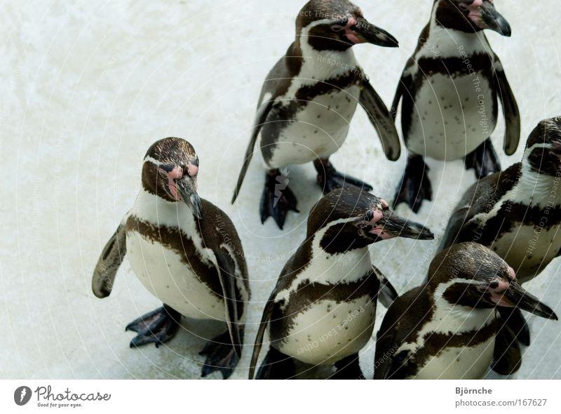 Tanz der Pinguine Wasser weiß schön Tier schwarz lustig Park Vogel Eis warten Wildtier stehen Frost Tiergruppe niedlich Feder