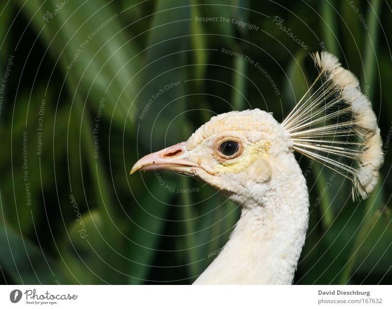White Lady Farbfoto Außenaufnahme Textfreiraum oben Kontrast Tierporträt Blick Natur Wildtier Vogel Tiergesicht 1 ästhetisch grün weiß Pfau Pfauenfeder Schnabel