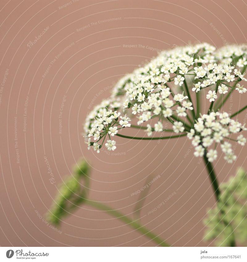 Echos of Spring II Farbfoto Gedeckte Farben Außenaufnahme Tag Schwache Tiefenschärfe Natur Pflanze Blume Blüte Wildpflanze Park Wiese Feld schön grün rosa weiß