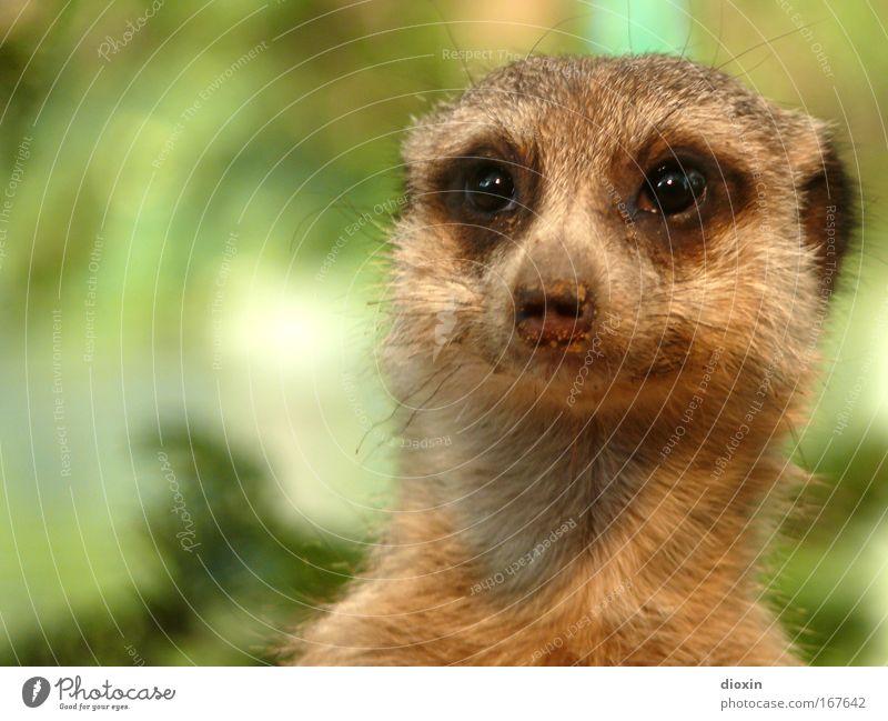 Schaun mer mal... (Suricata suricatta) Farbfoto Menschenleer Textfreiraum links Schwache Tiefenschärfe Tierporträt Blick nach vorn Umwelt Natur Erde Wildtier