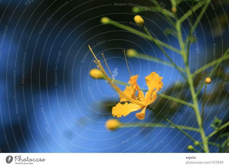 blumenbild in gelb II Natur schön Blume blau Pflanze Blüte elegant Umwelt ästhetisch exotisch Stempel filigran Staubfäden Botanischer Garten
