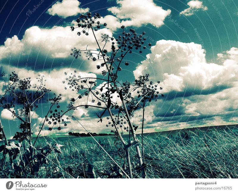 sky like blue jeans Himmel Wolken Gras Blüte Doldenblüte