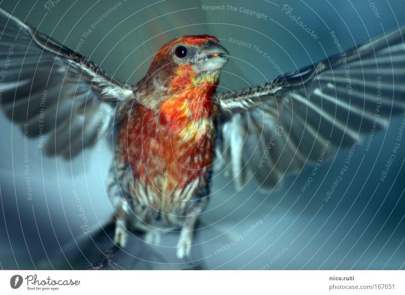 Balkon-Phönix Dämmerung Bewegungsunschärfe Blick in die Kamera Luft Vogel Flügel fliegen Neugier niedlich Angst Hausgimpel Carpodacus mexicanus flüchten Flucht