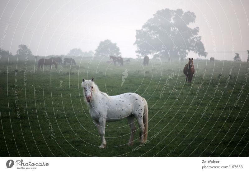 Pferd im Frühdunst Farbfoto Außenaufnahme Morgen Schwache Tiefenschärfe Totale Blick in die Kamera Tier Nutztier Tiergruppe Stimmung Interesse träumen Tag