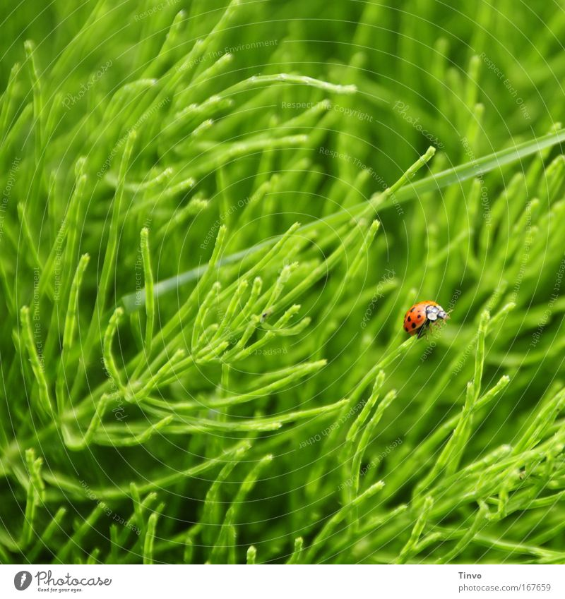 Käfer Farbfoto mehrfarbig Außenaufnahme Nahaufnahme Menschenleer Textfreiraum oben Tag Unschärfe Natur Frühling Gras Wildpflanze Wiese Tier 1 grün rot