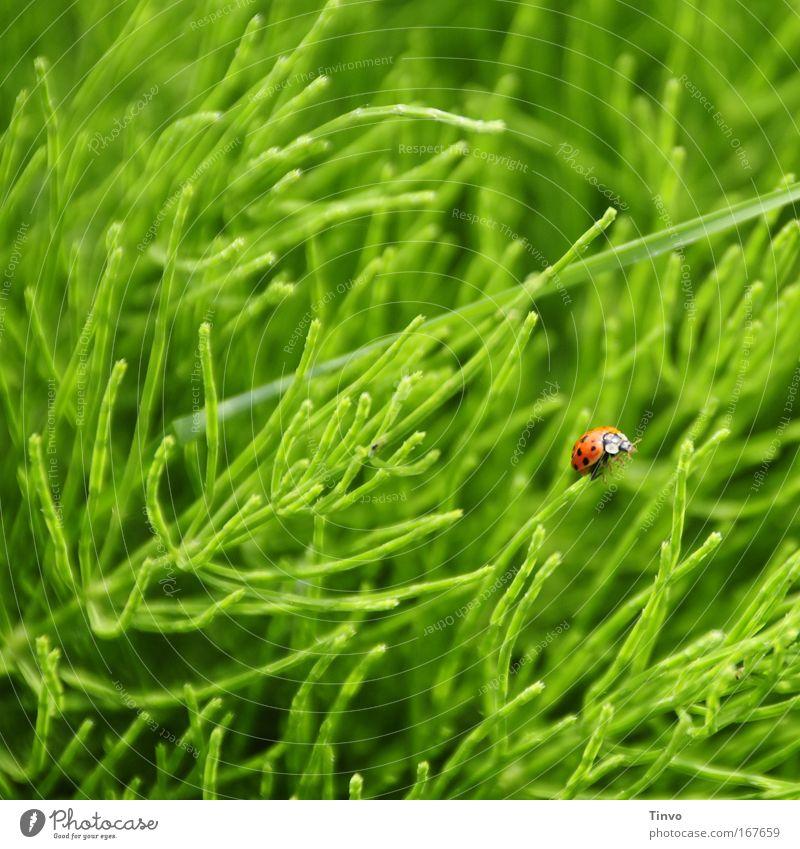 Käfer Natur grün rot Einsamkeit Tier Leben Wiese Gras Frühling Glück klein Hoffnung Klettern Insekt Kräuter & Gewürze Marienkäfer