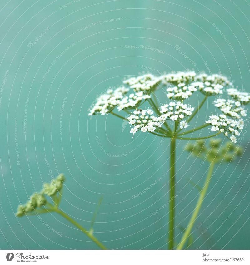 Echos of Spring III Natur weiß Blume grün Pflanze Wiese Blüte Park Feld türkis Frühlingsgefühle Heilpflanzen Wildpflanze Unkraut Kerbel