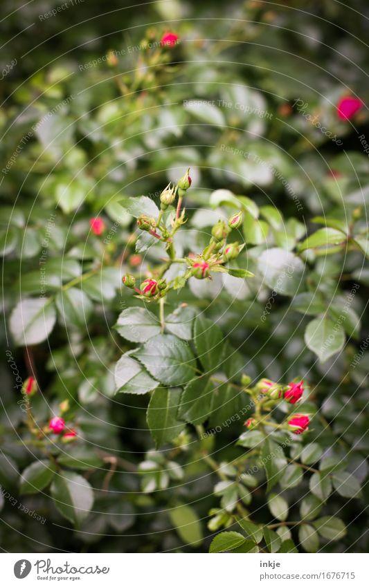 Rosen Umwelt Pflanze Sommer Blatt Blüte Rosengewächse Sträucher Garten Park Blühend Wachstum frisch schön klein natürlich grün rot Natur Farbfoto Außenaufnahme