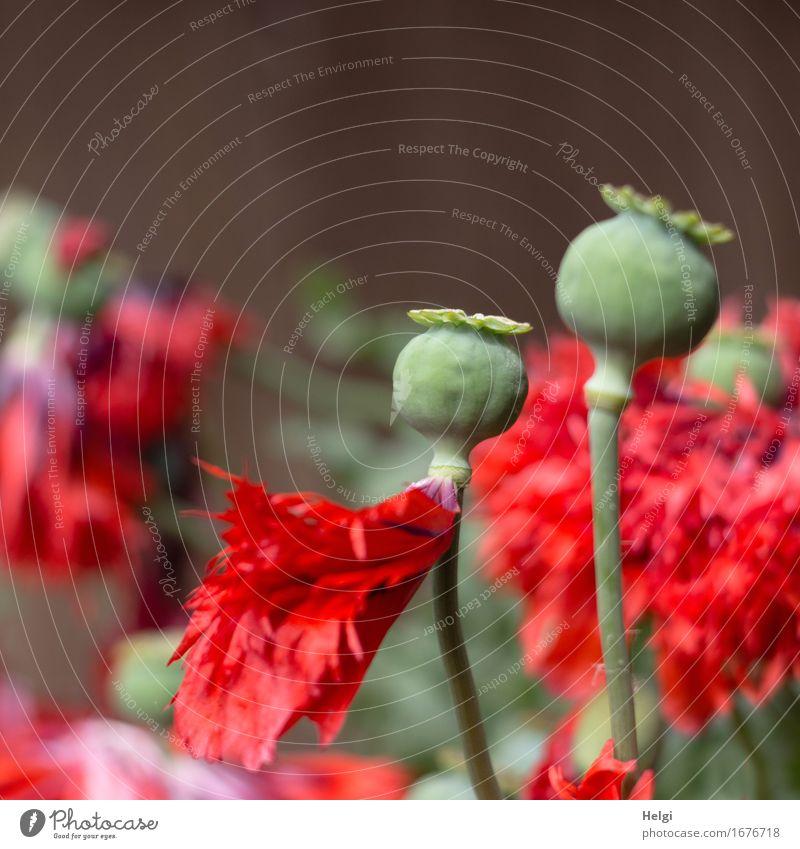 Schlafmohn Umwelt Natur Pflanze Frühling Schönes Wetter Blume Blüte Mohn Mohnblüte Samen Stengel Blütenblatt Garten Blühend stehen Wachstum außergewöhnlich
