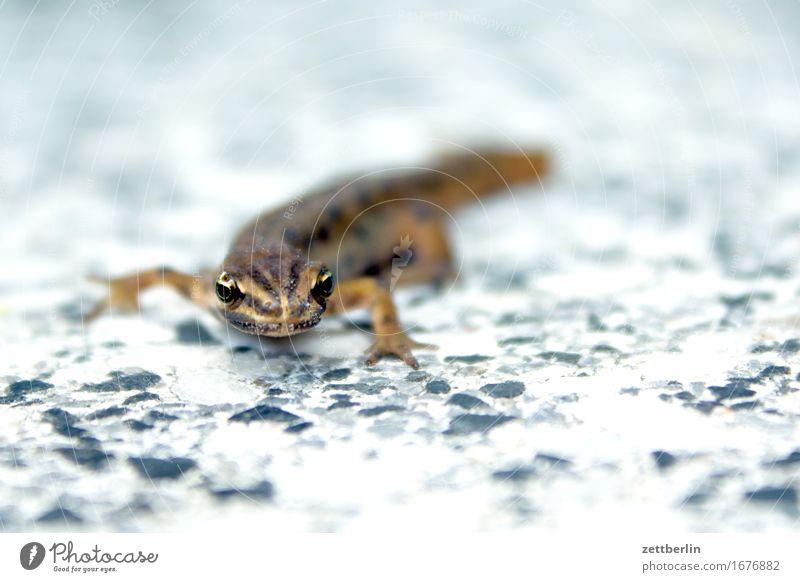 Molch Lurch Frosch Amphibie Artenschutz Echsen Tier Garten Gartenteich klein Reptil Natur Umweltschutz Wasserfrosch Teich Wildtier Textfreiraum Tierporträt Auge