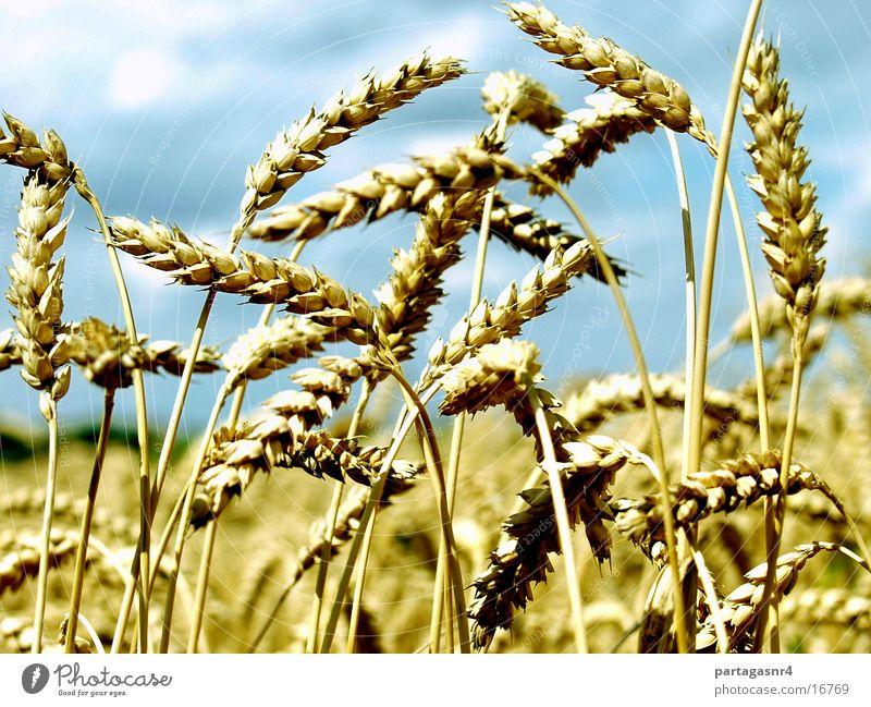 Euer Ähren Sommer gelb reif Korn Getreide Ernte