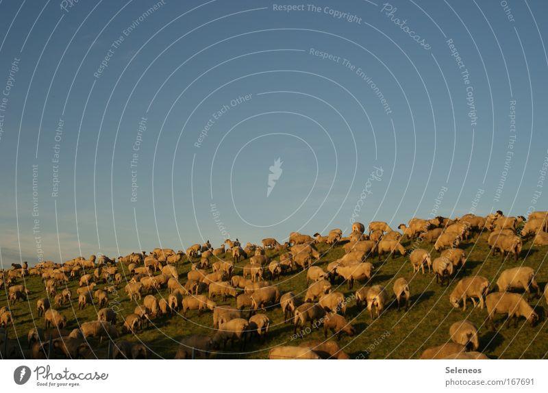 Rasen mähen Natur Freude Ferien & Urlaub & Reisen ruhig Tier Erholung Freiheit Zusammensein Umwelt Horizont Tourismus Tiergruppe stehen Frieden Freizeit & Hobby