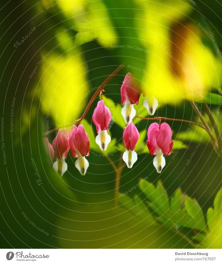 In Nachbars Garten ist es schön Natur grün Sommer Pflanze Umwelt Frühling Blüte rosa mehrere leuchten Sträucher Blühend Duft hängen exotisch