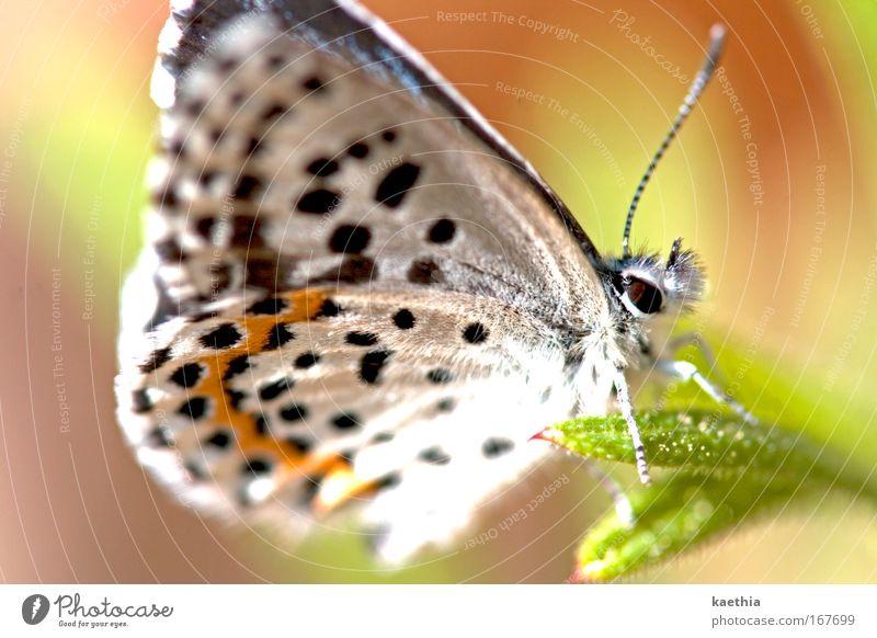 butterfly effect Umwelt Natur Tier Sommer Pflanze Gras Schmetterling Flügel Fühler Bläulinge 1 ästhetisch schön weiß Frühlingsgefühle Farbe Punkt orange Blume