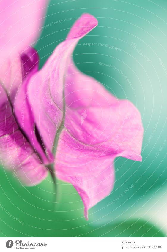 Bougainvillea schön Blume Pflanze Sommer ruhig Leben Erholung Frühling Zufriedenheit rosa Design ästhetisch Romantik Sträucher violett Duft