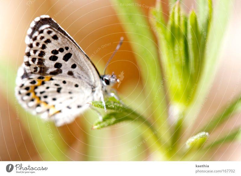 the other butterfly effect Farbfoto Außenaufnahme Makroaufnahme Tag Sonnenlicht Schwache Tiefenschärfe Umwelt Natur Tier Sommer Pflanze Gras Wiese Schmetterling