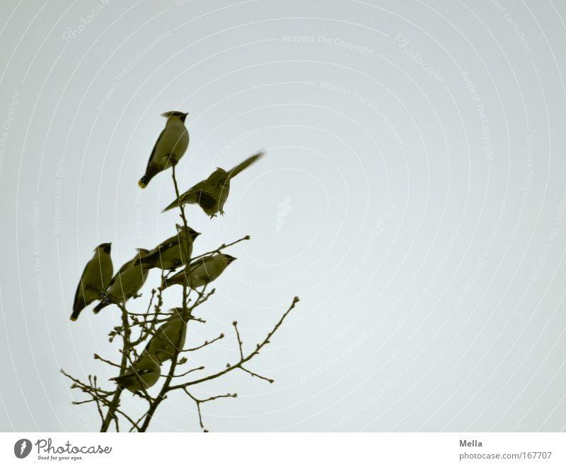 Ich bin der König der Welt! Umwelt Natur Pflanze Tier Luft Himmel Herbst Winter Baum Ast Baumkrone Wildtier Vogel Seidenschwanz Seidenschwänze Tiergruppe