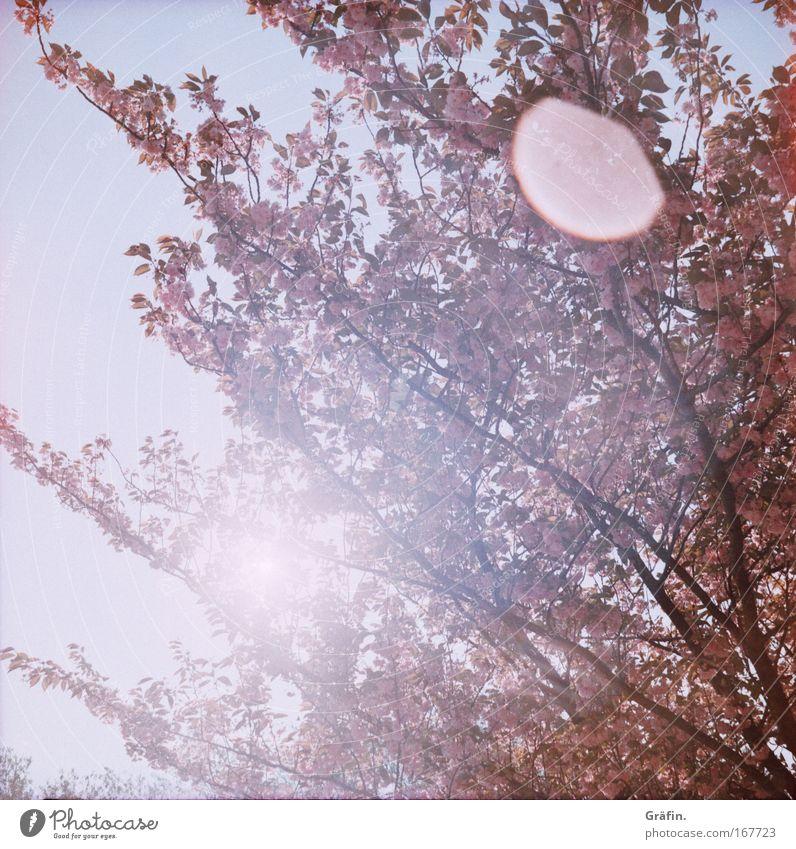 [HH 04.09] Blütenträume Farbfoto Außenaufnahme Lomografie Holga Sonnenstrahlen Gegenlicht Sonnenlicht Frühling Baum Kirschbaum Duft Kitsch rosa Leichtigkeit