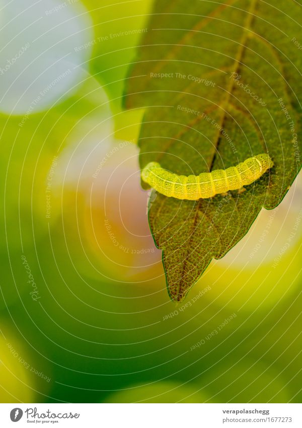 Raupe Nimmersatt Umwelt Natur Pflanze Tier Frühling Blatt Grünpflanze Wildpflanze Garten Park Feld Wald Wildtier Wurm 1 Bewegung festhalten Fressen krabbeln