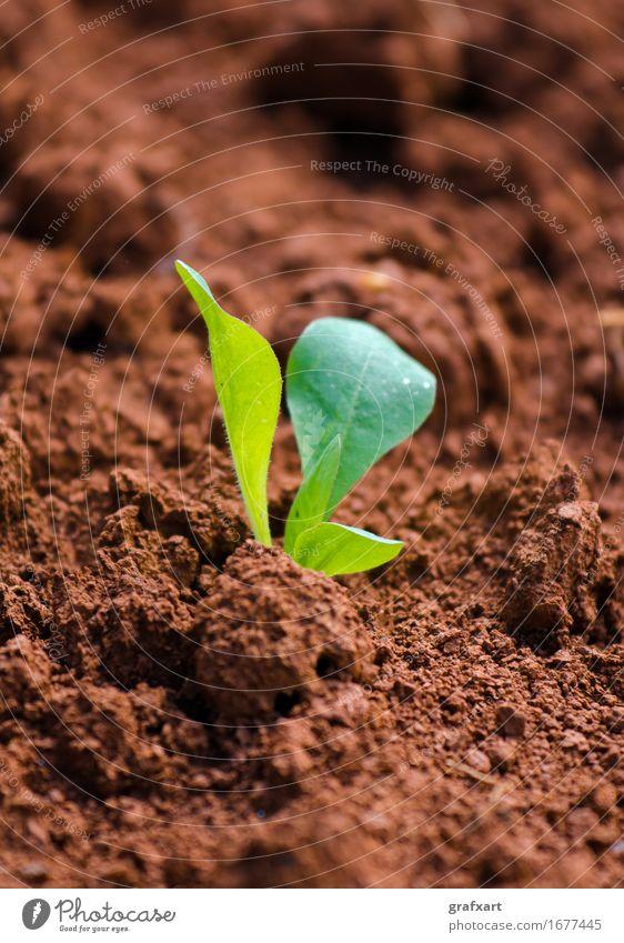 Junge grüne Pflanze auf rotem Acker neu frisch Feld Erde Ackerbau Landwirtschaft Geburt Trieb Keim Natur Botanik Beginn jung Aussaat Blatt Wachstum Optimismus