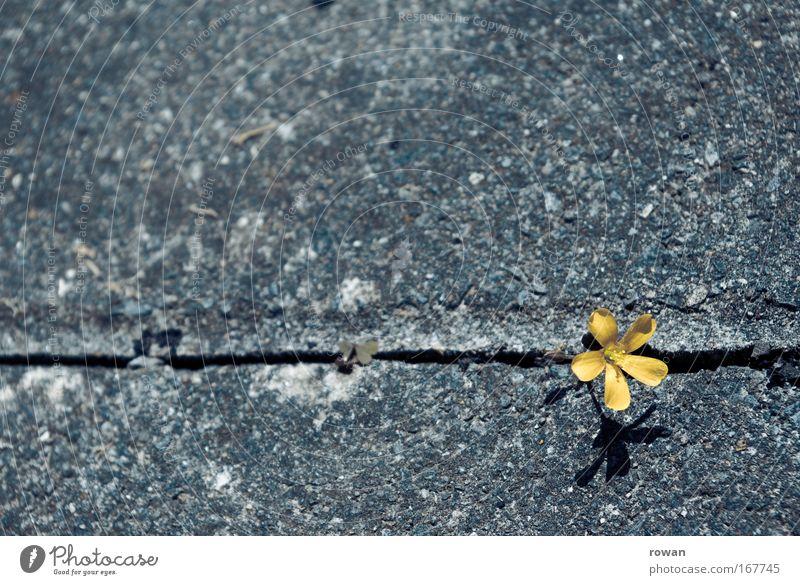 blümlein vs. asphalt Farbfoto Hintergrund neutral Pflanze Blume einzigartig schön Ausdauer standhaft Konkurrenz Optimismus protestieren rebellieren