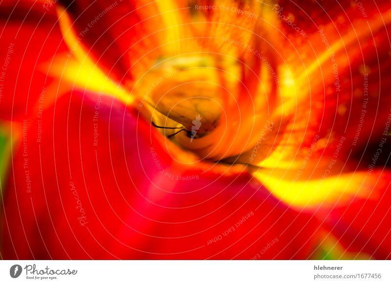 Wolkenlos Schwefel Phoebis Senna; schön Sommer Natur Landschaft Pflanze Tier Schönes Wetter Blume Blüte Schmetterling Flügel füttern natürlich wild gelb rot