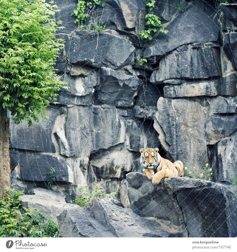 mauz Katze grün Baum Tier gelb grau Felsen liegen Wildtier niedlich beobachten Neugier Zoo gestreift Tiger Safari