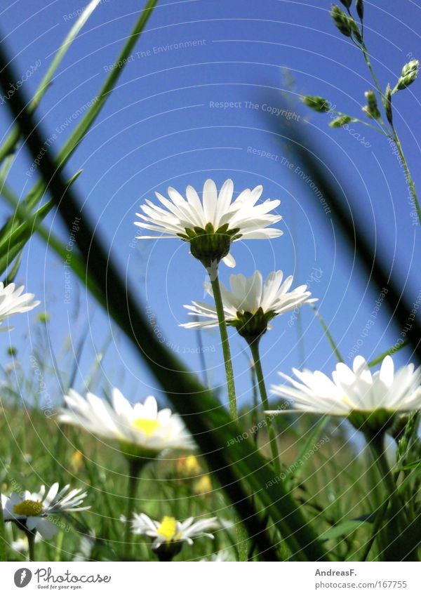 Froschperspektive Farbfoto mehrfarbig Außenaufnahme Tag Sonnenlicht Umwelt Natur Pflanze Himmel Blume Gras Blüte blau grün Klima Gänseblümchen Blauer Himmel