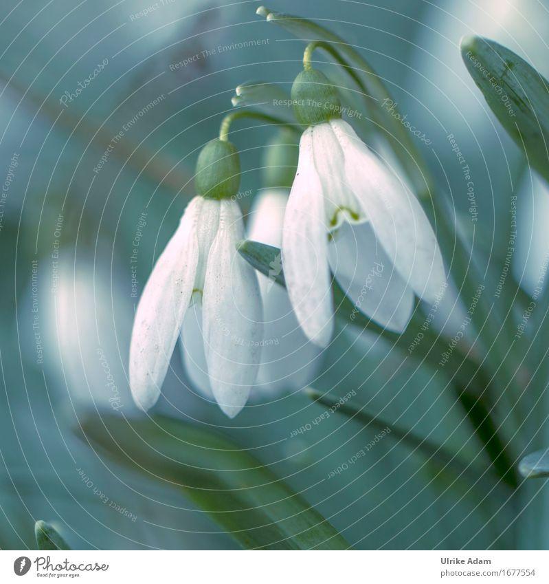 Schneeglöckchen Natur Pflanze Frühling Blume Blatt Blüte Wildpflanze Topfpflanze Frühblüher Garten Park Dekoration & Verzierung Blumenstrauß Poster Blühend Duft
