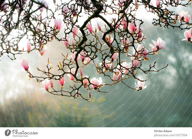Magnolienzauber Natur Ferien & Urlaub & Reisen Stadt Pflanze Baum Erholung Blatt ruhig Blüte Frühling Garten Deutschland Park Europa Schönes Wetter Sehenswürdigkeit