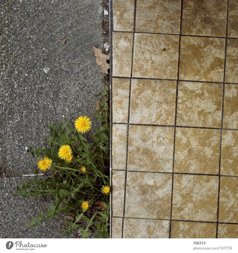 Fotonummer 123412 Asphalt Wege & Pfade Pflanze Löwenzahn gelb Blume gerade optische täuschung Flucht Straße Wachstum Stein Beton Am Rand Heilpflanzen Unkraut