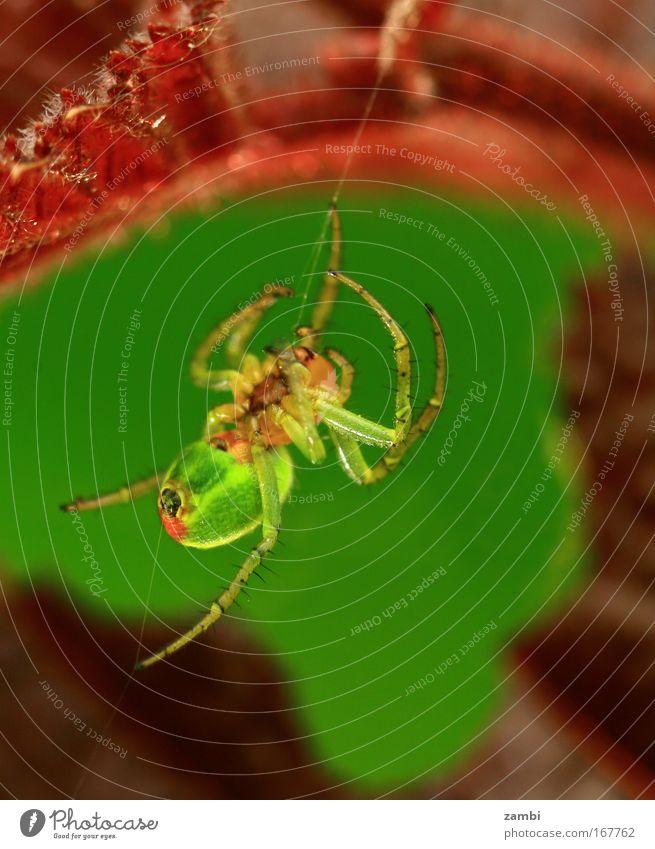 Dornenfinger Natur grün rot Tier hell Angst groß verrückt Wildtier Ekel Spinne Aggression Spinnennetz spinnen