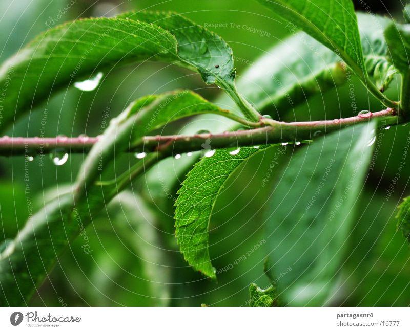 Blätter im Regen grün Pflanze Sommer Blatt Regen Wassertropfen