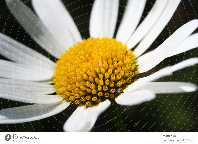 Margarite Farbfoto Außenaufnahme Nahaufnahme Detailaufnahme Makroaufnahme Menschenleer Tag Schatten Kontrast Sonnenlicht Schwache Tiefenschärfe