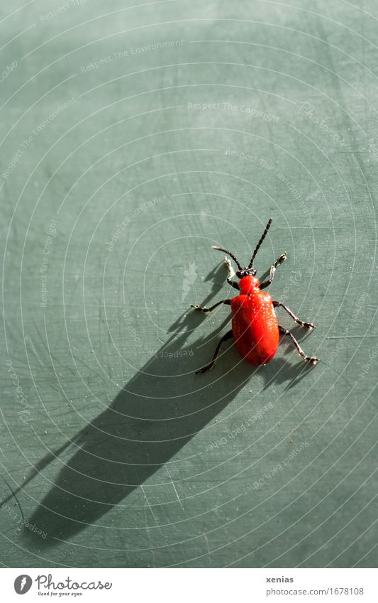 Lilienhähnchen mit langem Schatten auf grüner Fläche Blattkäfer Käfer Flügel Fühler 1 Tier rot schwarz Schattenspiel Käferbein hochkrabbeln Ganzkörperaufnahme