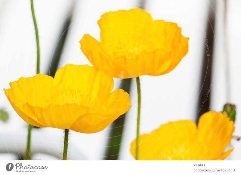 Drei gelbe Mohnblüten Blüte Islandmohn 3 Pflanze Frühling Sommer Blume Park dünn grün schwarz weiß Streifen Linie Nahaufnahme Papaver nudicaule Klatschmohn