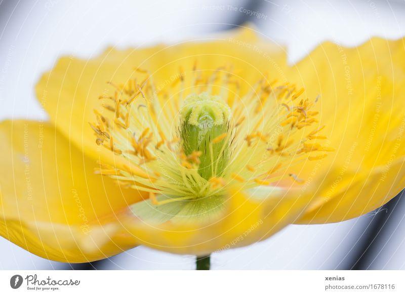 Makroaufnahme einer gelben Blüte Mohn Islandmohn Blume grün schwarz weiß Detailaufnahme Wellness Nahaufnahme Blühend Sommer Garten Papaver nudicaule Staubfäden