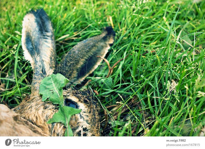 Tiersterben II Farbfoto Außenaufnahme Nahaufnahme Textfreiraum rechts Tierporträt Umwelt Natur Pflanze Gras Wiese Wildtier Totes Tier Hase & Kaninchen 1 liegen