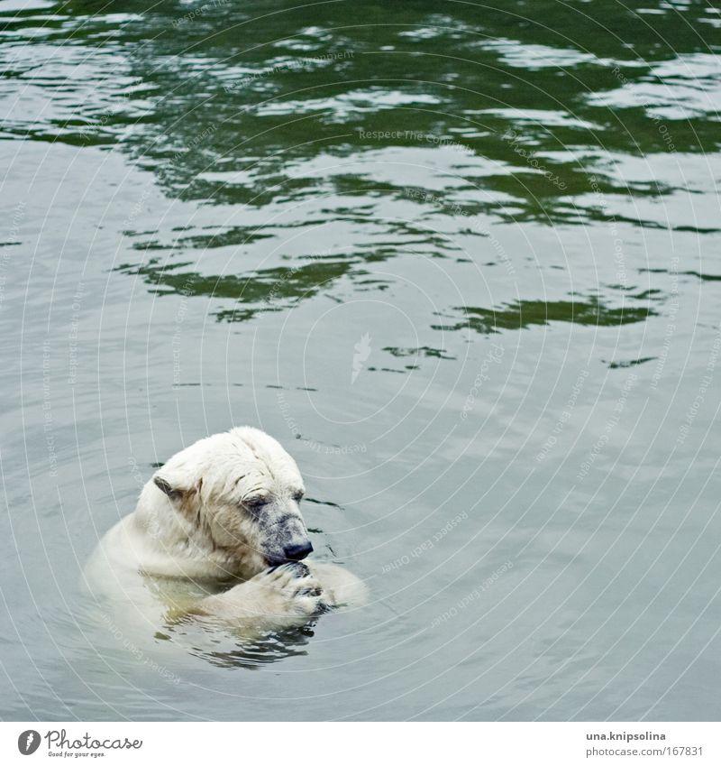 polar Wasser Tier Schnee Schwimmen & Baden Eis Wildtier Ernährung Zoo Fressen Pfote Bär Nordpol Eisbär Arktis