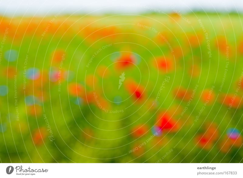 Voll auf Mohn Natur Blume grün blau Pflanze rot Sommer Farbe Wiese Blüte Gras Landschaft Feld Umwelt Horizont Lebensfreude