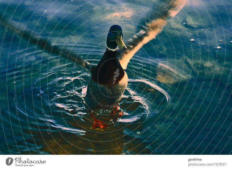 Gefieder Lüften Wasser schön grün blau Tier Bewegung See fliegen wild Wildtier Seeufer Teich Ente