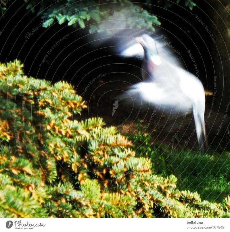 Landeanflug Natur schön Tier Umwelt Vogel Wildtier Flügel Schönes Wetter Taube flattern Zweige u. Äste schemenhaft Tannenzweig Luftaufnahme