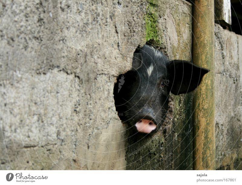 schwein gehabt schwarz Tier Glück Mauer dreckig rosa Tiergesicht beobachten natürlich Redewendung Neugier Loch Haustier Schwein Asien Nutztier