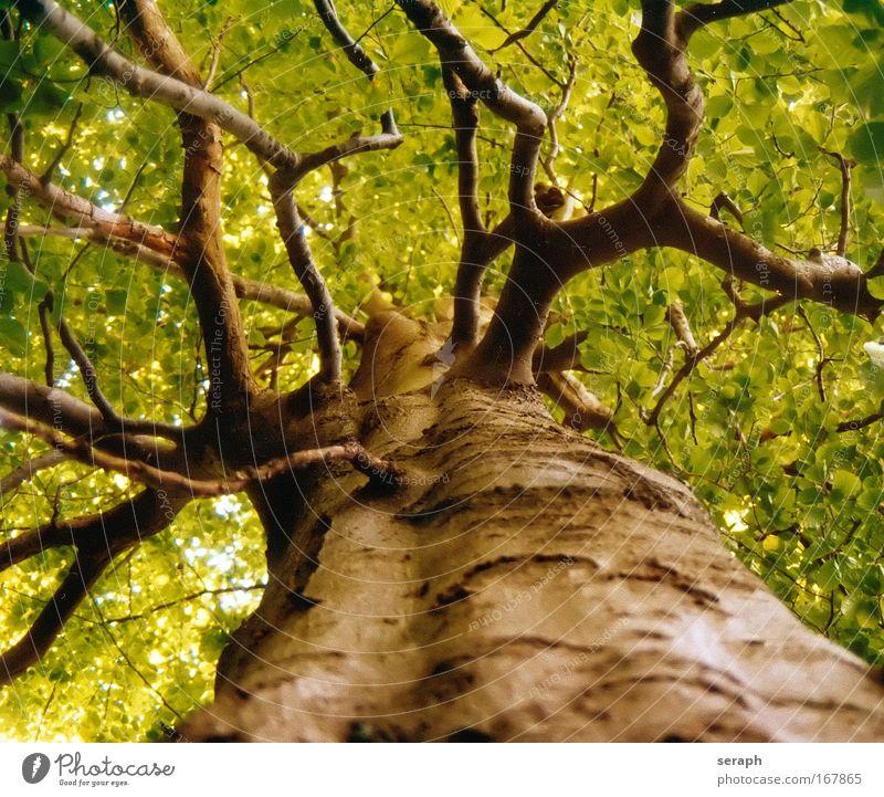 Uralte Buche Baum Blatt trunk crown of tree Wald Kruste Holz Ast Geäst Lebensalter bark dendritic giant Stimmungsbild Labyrinth twig strength Botanik pflanzlich