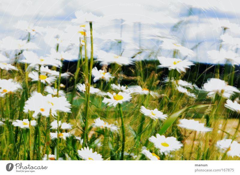 windy Natur Frühling Sommer Wind Blume Wildpflanze Margerite Wiese Bewegung Blühend ästhetisch hell natürlich schön grün weiß Frühlingsgefühle außergewöhnlich