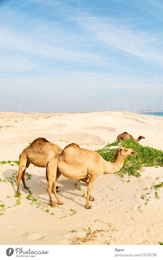 Dromedar in der Nähe des Meeres Essen Ferien & Urlaub & Reisen Tourismus Abenteuer Safari Sommer Strand Natur Pflanze Tier Sand Himmel heiß wild braun grau