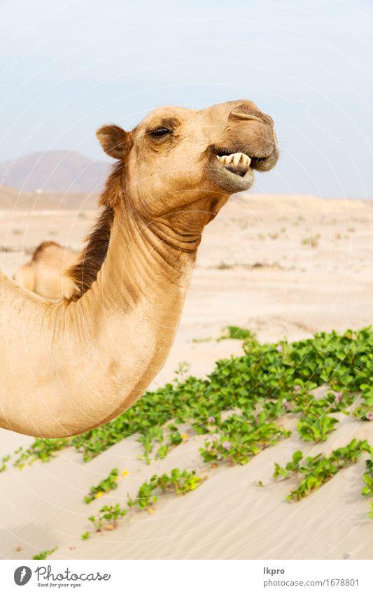 Dromedar in der Nähe des Meeres Essen Ferien & Urlaub & Reisen Tourismus Abenteuer Safari Sommer Natur Pflanze Tier Sand Himmel Behaarung heiß wild braun grau