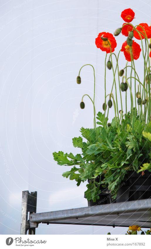 Ulmer Wochenmarkt Natur Pflanze Sommer Blume Mohn Markt Gartenarbeit Marktplatz verblüht Blumentopf Gewächshaus Mohnblüte Topfpflanze Markthalle
